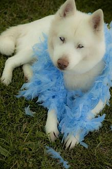 Siberian Husky Dog for adoption in Harvard, Illinois - Isabella