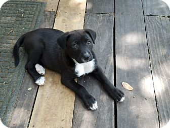 Australian Cattle Dog/Labrador Retriever Mix Puppy for adoption in Beeville, Texas - Puppy