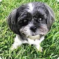 Shih Tzu Dog for adoption in Clifton, Texas - Winston