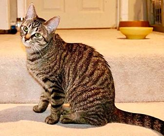 Domestic Shorthair Cat for adoption in Lindsay, Ontario - Starfire