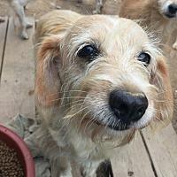 Adopt A Pet :: Sunny - Oakton, VA