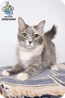 Domestic Longhair Cat for adoption in Knoxville, Tennessee - Abigail Adams