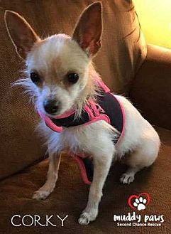Chihuahua Dog for adoption in Council Bluffs, Iowa - Corky