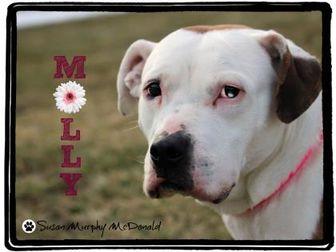 American Bulldog Mix Dog for adoption in Cumberland, Maryland - Molly