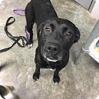 Adopt A Pet :: Juliet - Paducah, KY