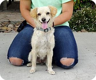 Terrier (Unknown Type, Small)/Spaniel (Unknown Type) Mix Dog for adoption in Lathrop, California - Terri