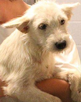 Schnauzer (Standard)/Terrier (Unknown Type, Medium) Mix Puppy for adoption in Oswego, Illinois - Samson