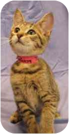 Domestic Shorthair Kitten for adoption in Walker, Michigan - Ruby