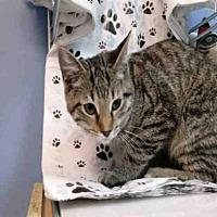 Adopt A Pet :: TIBERIOUS - Canfield, OH