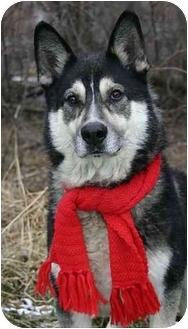Alaskan Malamute/German Shepherd Dog Mix Dog for adoption in Ladysmith, Wisconsin - Cherokee