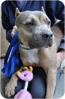 American Pit Bull Terrier Dog for adoption in Los Angeles, California - China