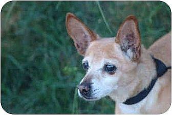 Italian Greyhound/Chihuahua Mix Dog for adoption in West Los Angeles, California - Marlon