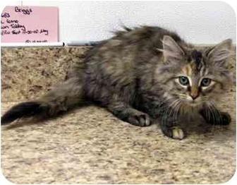 Maine Coon Kitten for adoption in Overland Park, Kansas - Kari