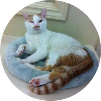 Domestic Shorthair Cat for adoption in Sugar Land, Texas - -Lopez