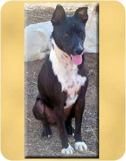 Australian Cattle Dog Mix Dog for adoption in Scottsdale, Arizona - Ricky