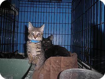 Domestic Shorthair Kitten for adoption in Warren, Michigan - Topaz FeLV+
