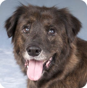 Australian Shepherd/Mountain Cur Mix Dog for adoption in Naperville, Illinois - Mallory