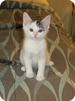 Domestic Mediumhair Kitten for adoption in Huntsville, Alabama - Fred
