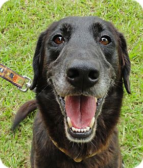 Labrador Retriever Mix Dog for adoption in Groton, Massachusetts - Buddy