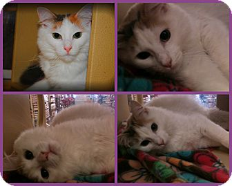 Turkish Van Cat for adoption in Yuba City, California - Abbott