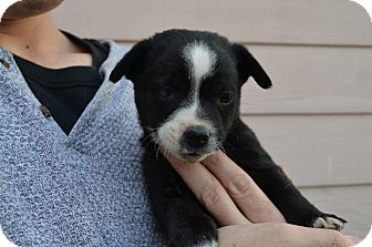 Border Collie/Corgi Mix Puppy for adoption in Westminster, Colorado - Louis
