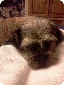 Shih Tzu/Pekingese Mix Dog for adoption in Glastonbury, Connecticut - Sandy