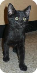 Domestic Shorthair Kitten for adoption in Pueblo West, Colorado - Monty