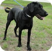 Labrador Retriever Mix Dog for adoption in Salem, Massachusetts - Bo