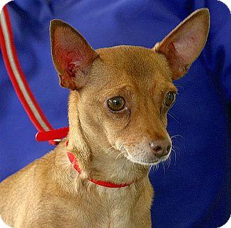Chihuahua Dog for adoption in Berkeley, California - Lucas
