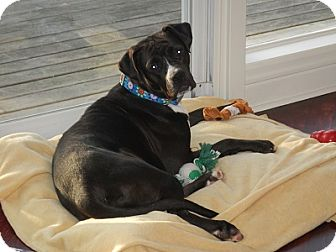 Boxer/Labrador Retriever Mix Dog for adoption in Hamilton, Ontario - Bella