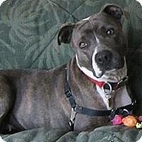 Adopt A Pet :: Bella Blu-adoption pending - Warwick, NY
