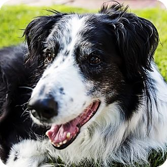 Border Collie Dog for adoption in Bellevue, Nebraska - Rocket