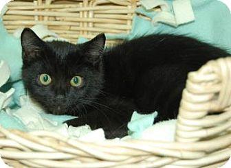 Domestic Shorthair Kitten for adoption in Bradenton, Florida - Cayenne