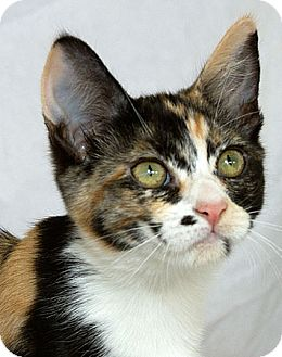 Domestic Shorthair Cat for adoption in Sacramento, California - Whitney