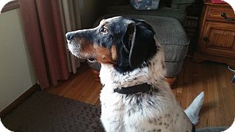 Australian Shepherd/Pointer Mix Dog for adoption in Minneapolis, Minnesota - Sadie