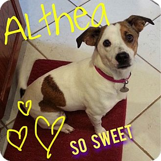 Jack Russell Terrier/Dachshund Mix Dog for adoption in Nashville, Tennessee - Althea