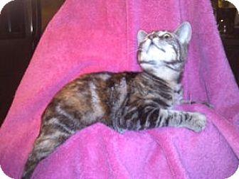 Domestic Shorthair Kitten for adoption in Colorado Springs, Colorado - K-Sasha4-Brianna