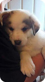 Husky/Corgi Mix Puppy for adoption in Hainesville, Illinois - Pandora
