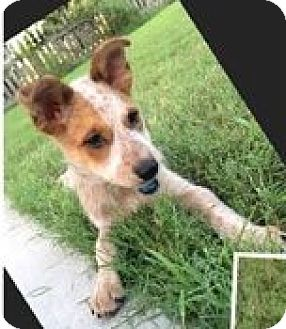 Australian Cattle Dog Mix Puppy for adoption in Cat Spring, Texas - Kate