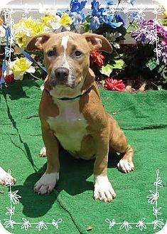 Pit Bull Terrier Mix Puppy for adoption in Marietta, Georgia - JUNE- also see ROSANNE