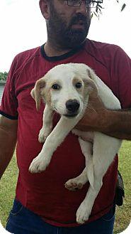 Labrador Retriever Mix Puppy for adoption in East Hartford, Connecticut - Zane-pending adoption