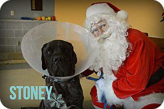 Mastiff Mix Dog for adoption in Hamilton, Ontario - Stoney