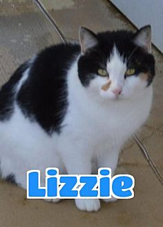 Domestic Shorthair Cat for adoption in Lawrenceburg, Kentucky - #6-3734 Lizzie - foster GB
