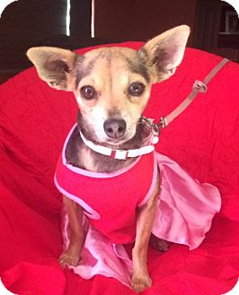 Chihuahua Mix Dog for adoption in Pasadena, California - BABY
