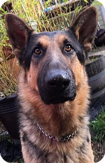 German Shepherd Dog Mix Dog for adoption in Federal Way, Washington - Jethro - Handsome Young Shep