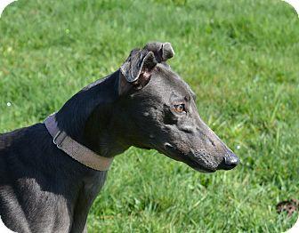 Greyhound Dog for adoption in Portland, Oregon - Janelle