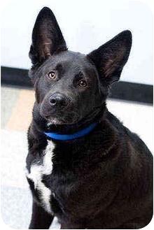 German Shepherd Dog Mix Dog for adoption in Portland, Oregon - Dusty