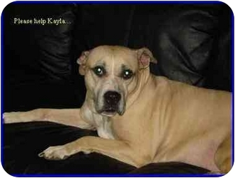 American Staffordshire Terrier Dog for adoption in Hamilton, Ontario - Kayla