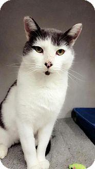 Domestic Shorthair Cat for adoption in Chaska, Minnesota - Dorian Gray