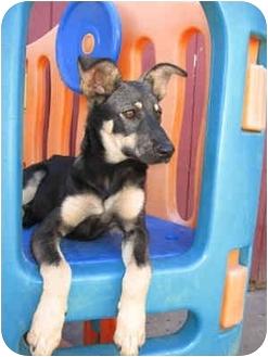 German Shepherd Dog Mix Puppy for adoption in Portland, Oregon - Vegas